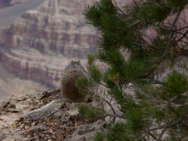 Squirrell am Grand Canyon